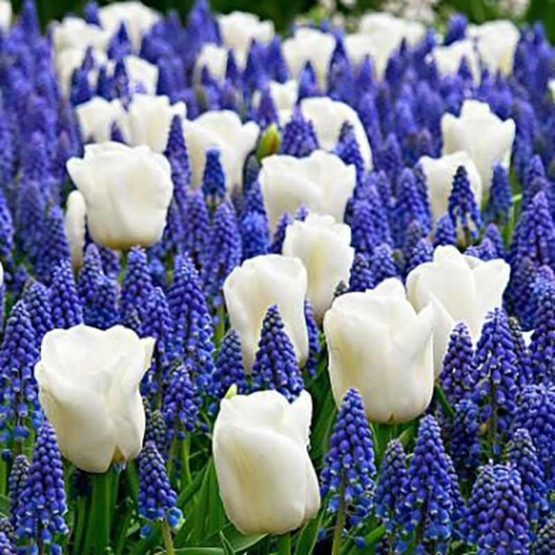 Blomsterlök Border Buddies mix, tulpan och pärlhyacint