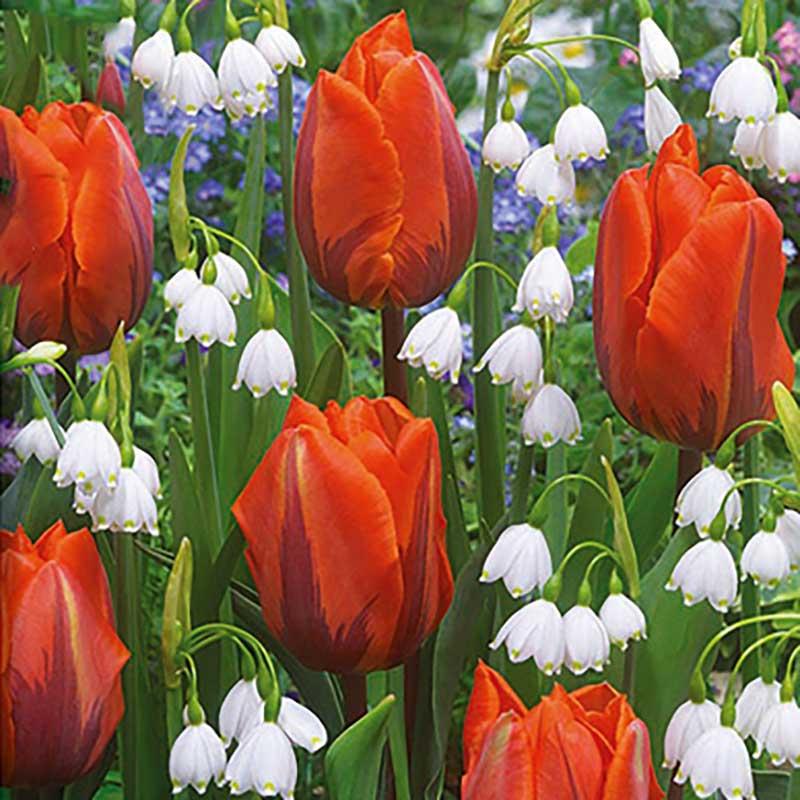 Blomsterlök mix - Tulpan & snöklocka Spring Glory