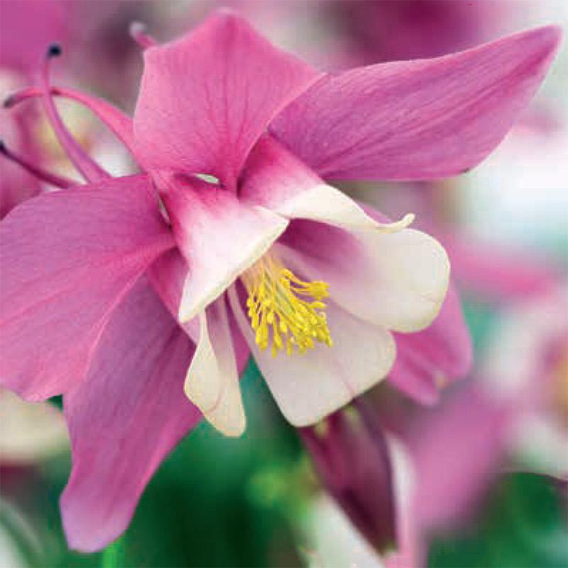 Akleja 'Rose Ivory'