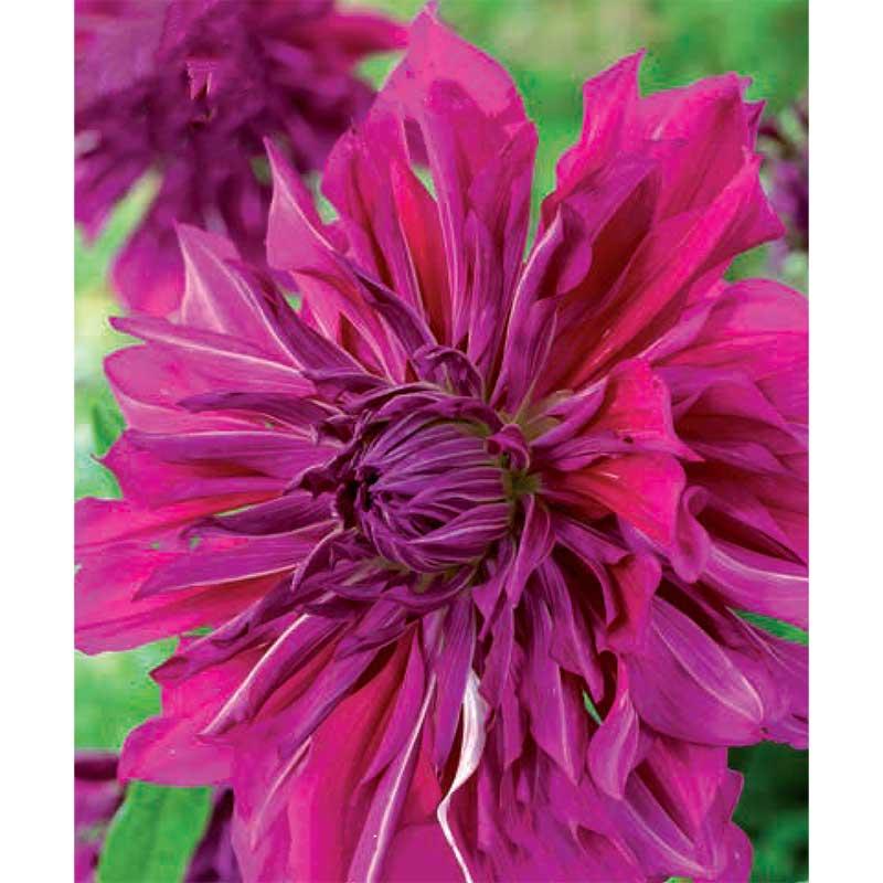 Dekorativdahlia 'Purple Taiheijo'
