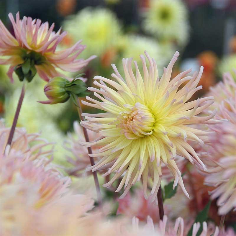 Kaktusdahlia ' Apricot Star'