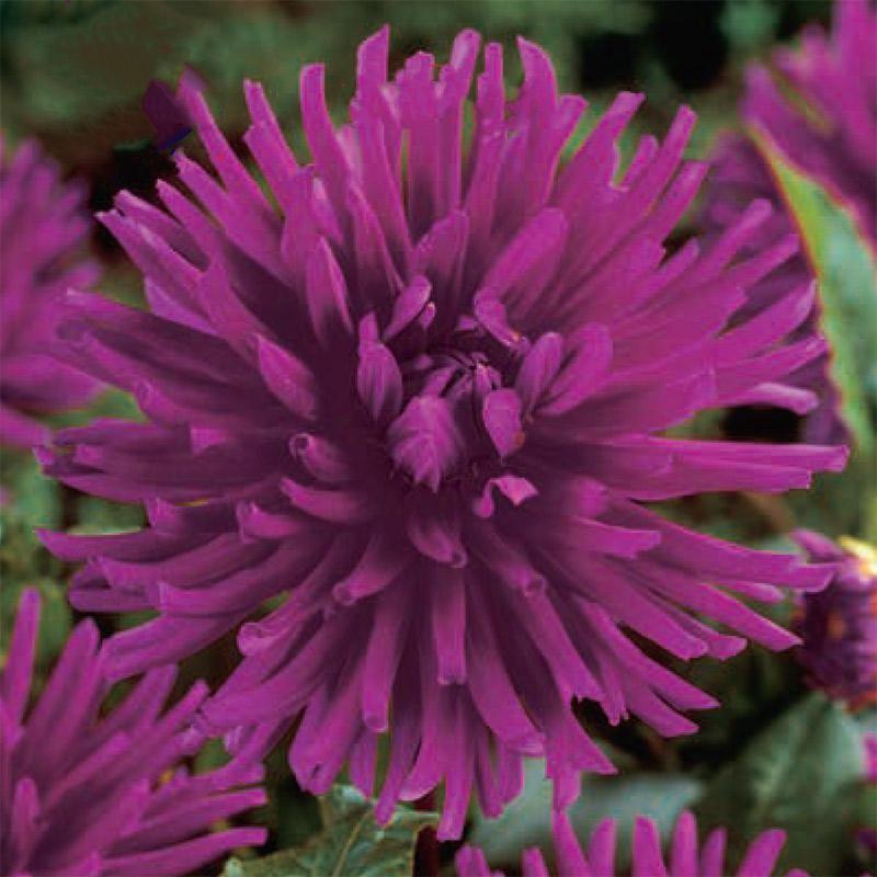Kaktusdahlia 'Purple Gem'
