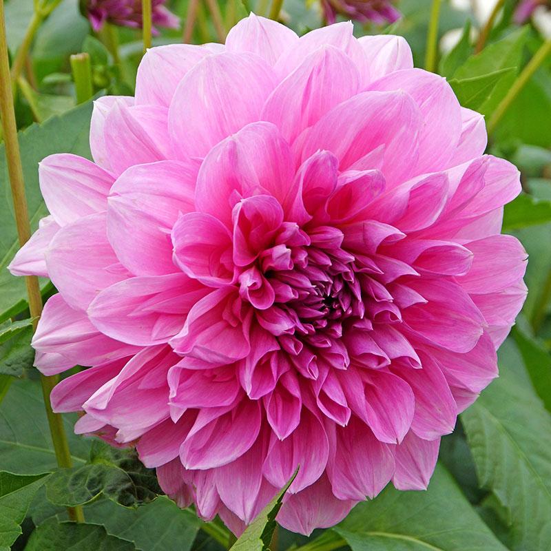 Knöl till Dekorativdahlia 'Lavender Perfection'