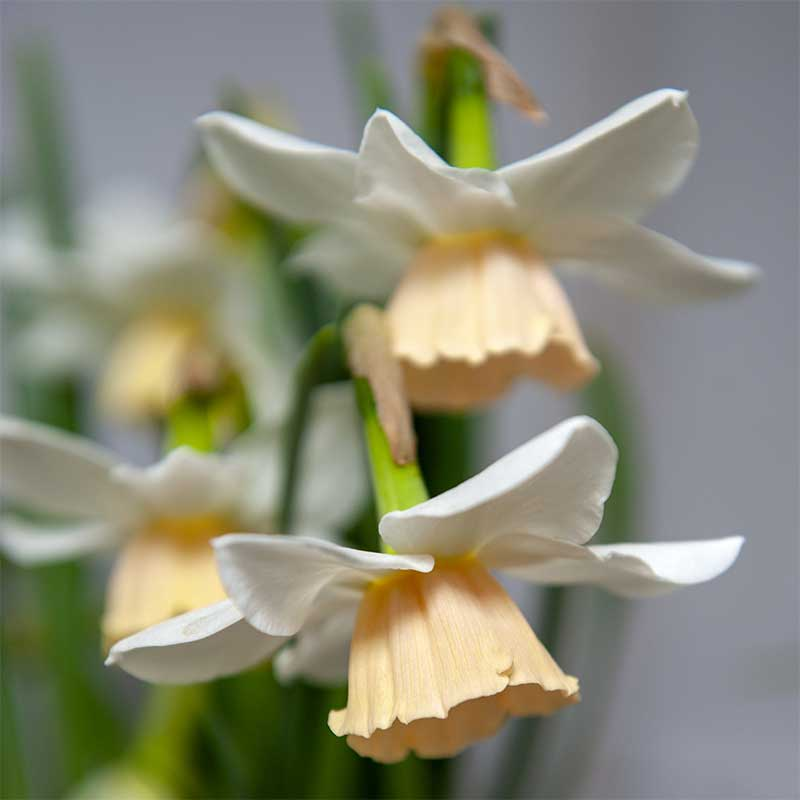 Orkidénarciss 'Katie Heath'