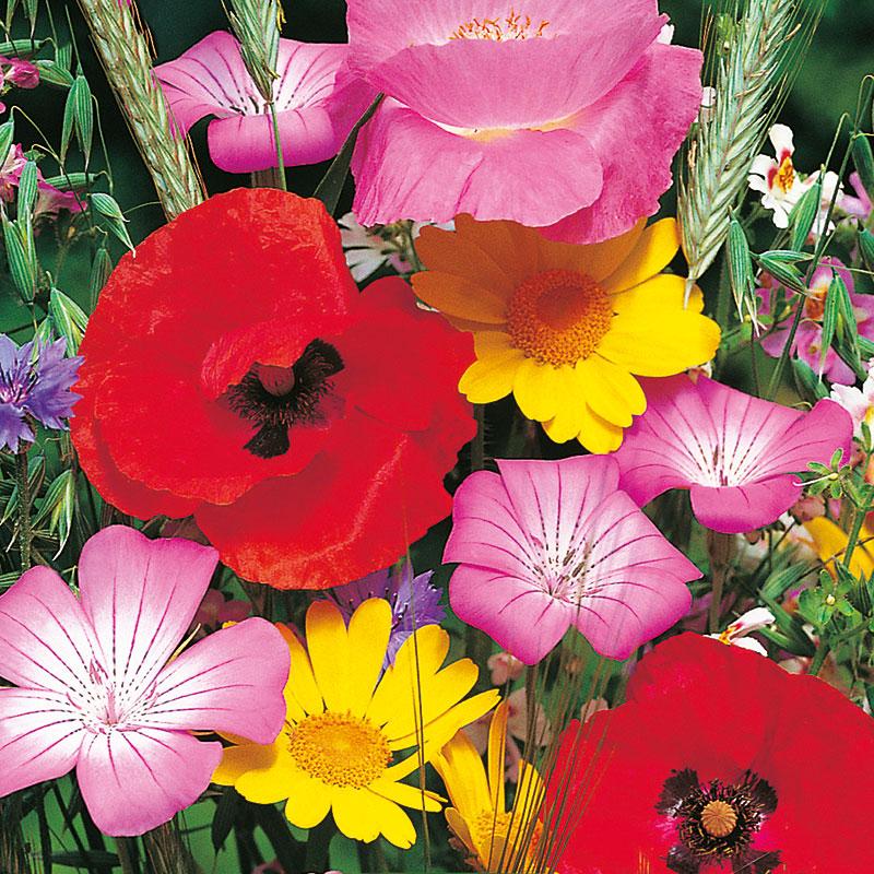 Ekologiskt frö till blomstermix för humlor och fjärilar