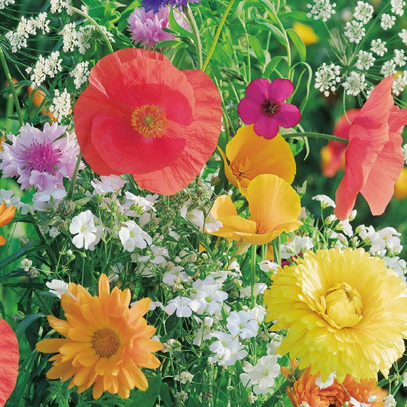 Ekologiskt frö till blomstermix för fjärilar