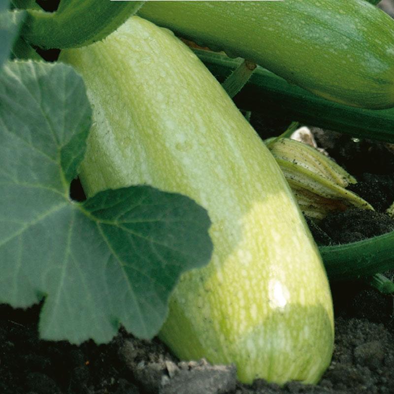 Ekologiskt frö till Squash, Cucurbita pepo 'Ortolana di Faenza'