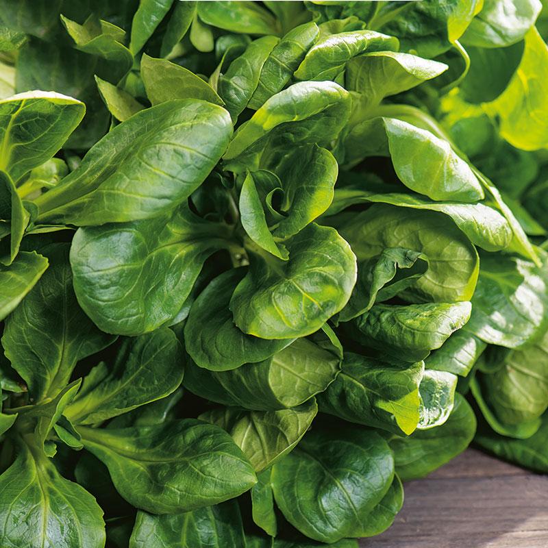Ekologiskt frö till vintersallat, Valerianella locusta var. oleracea