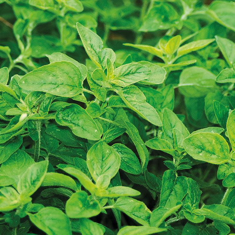 Grekisk oregano, Origanum vulgare ssp. hirtum
