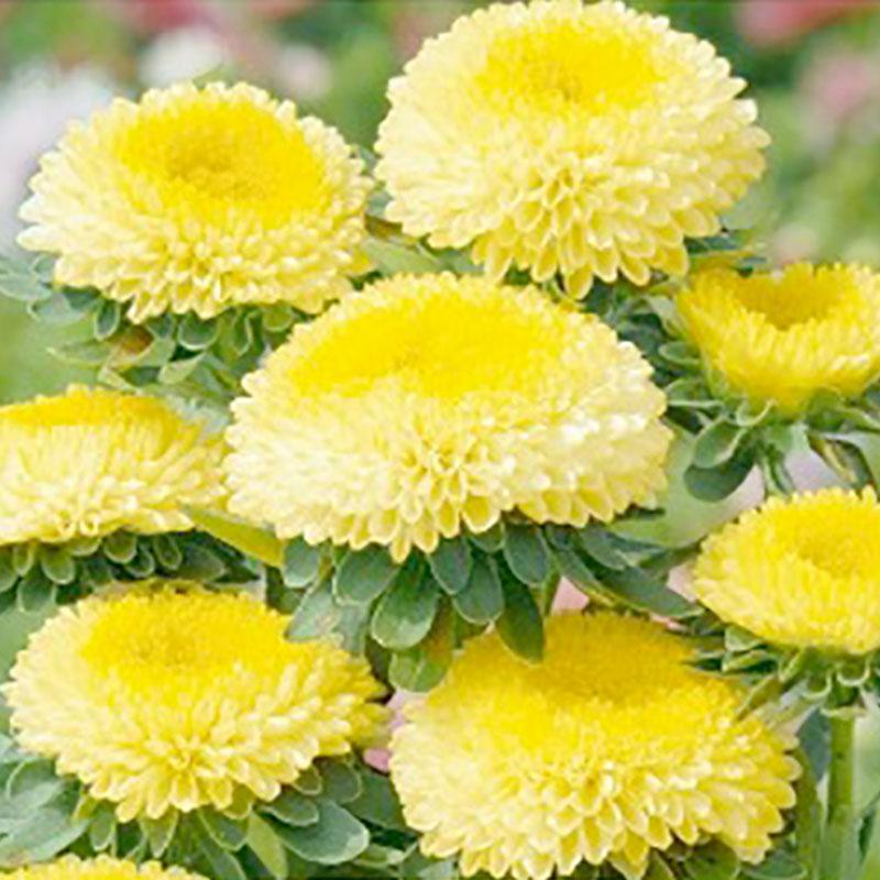 Frö till gul sommaraster Pompon