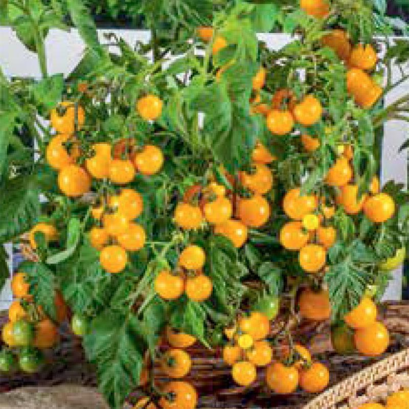 Frö till Körsbärstomat 'Balconi Yellow'