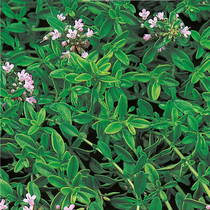 Kryddtimjan, Thymus vulgaris