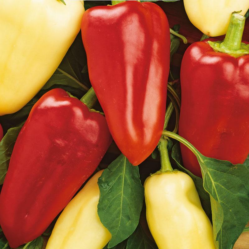 Frö till Paprika mix, Capsicum annuum