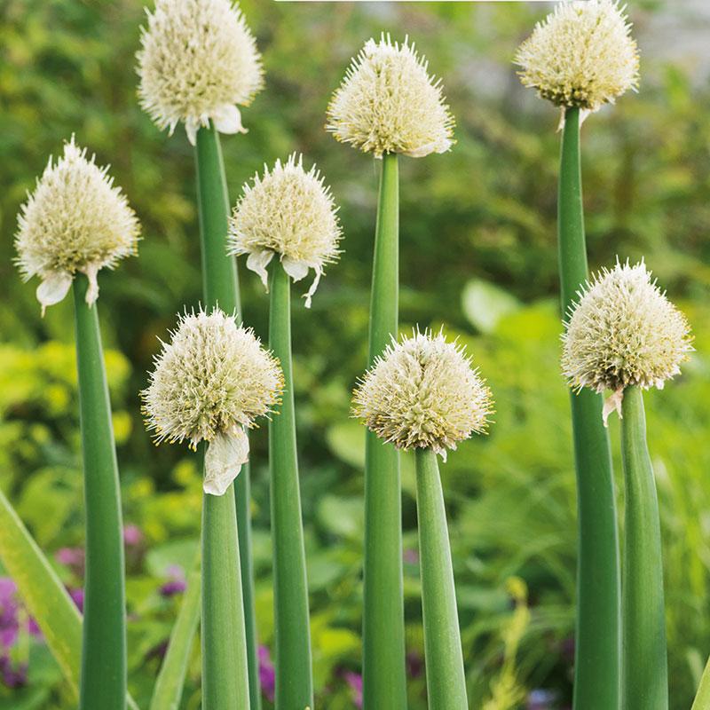 Piplök, Allium fistulosum 'Strada'