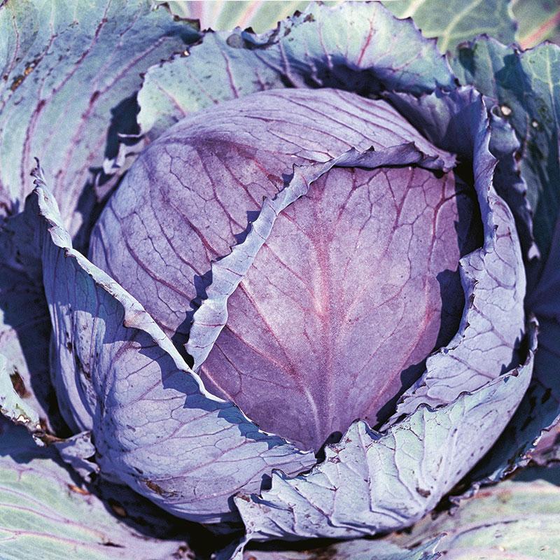 Frö till Rödkål, Brassica oleracea 'Rufus'