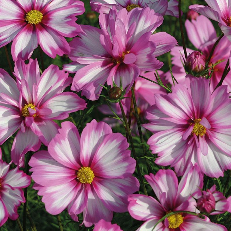Frö till rosenskära, Cosmos bipinnatus 'Carriola'
