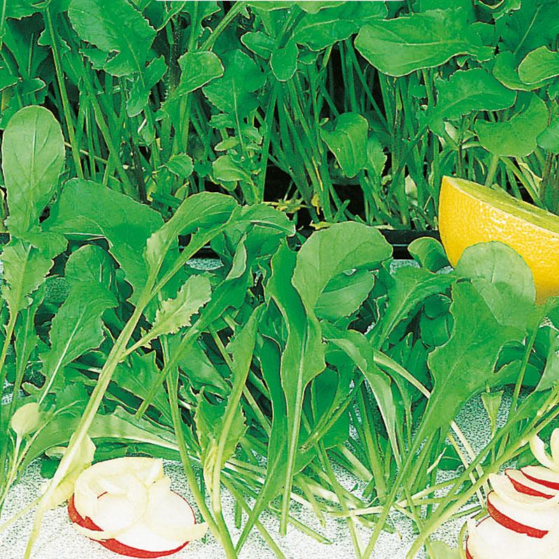 Frö till Sandsenap, Diplotaxis tenuifolia 'Wildfire Wasabi'