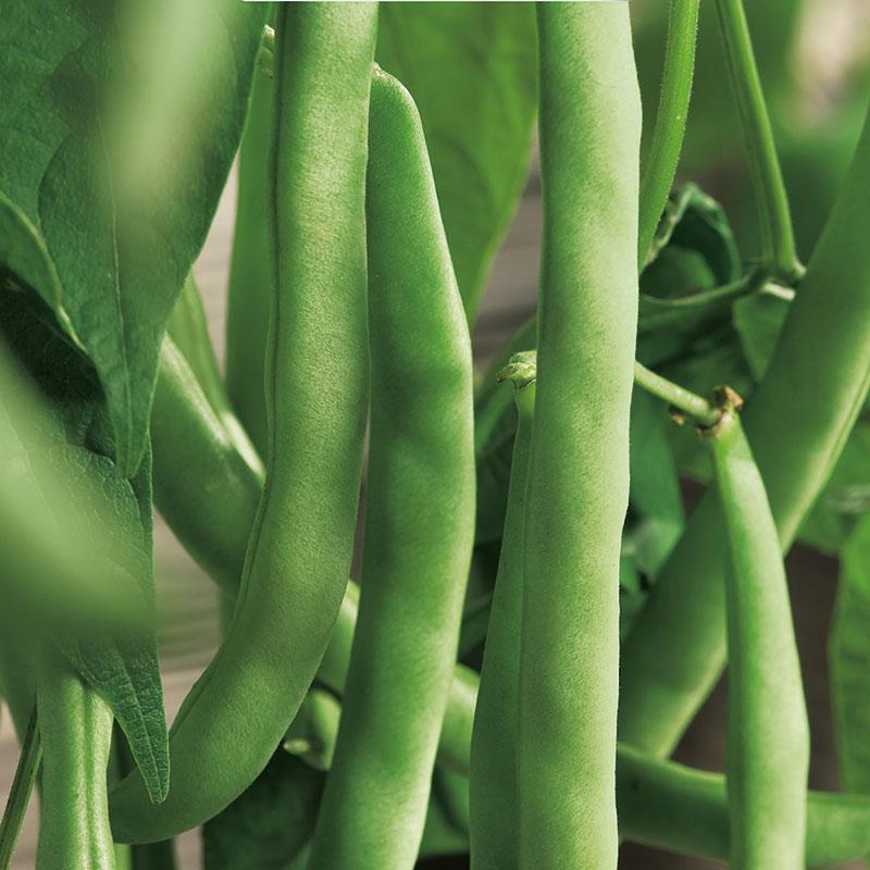 Spritböna, Phaseolus vulgaris 'Cannellino'