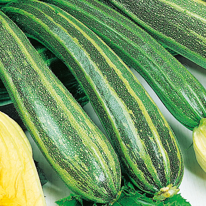 Frö till Squash, Cucurbita pepo 'Cocozelle'