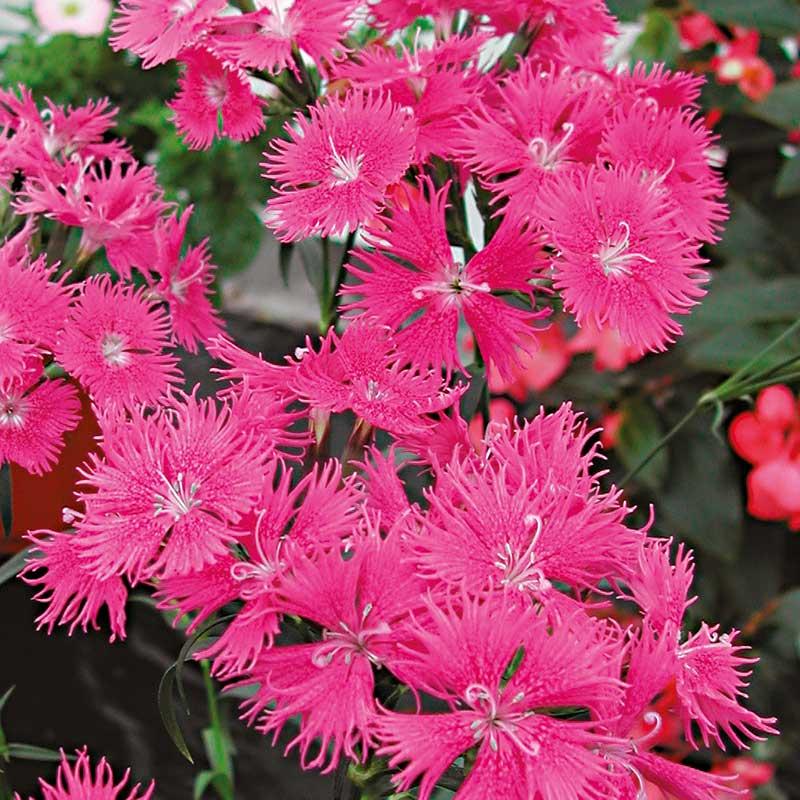 Borstnejlika 'Bouquet'