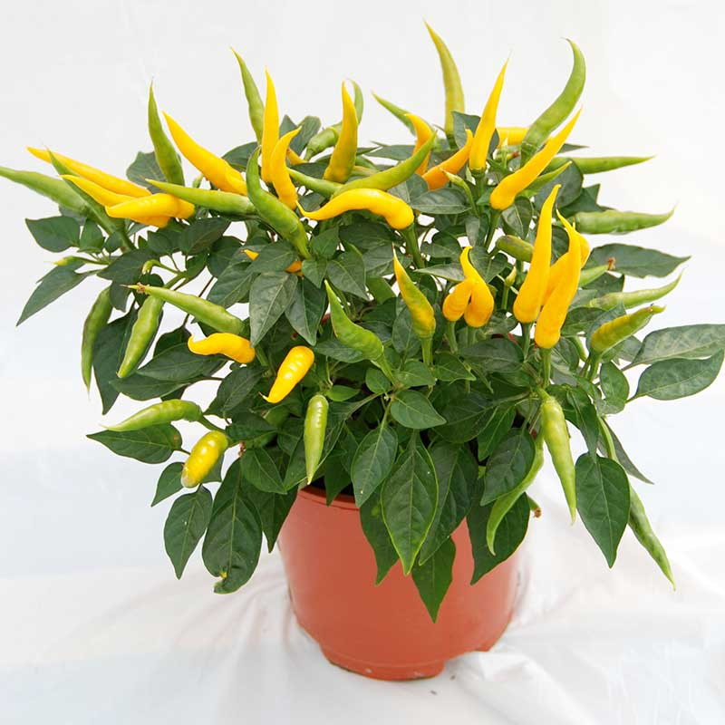 Chilipeppar 'Volante Mild Yellow' F1