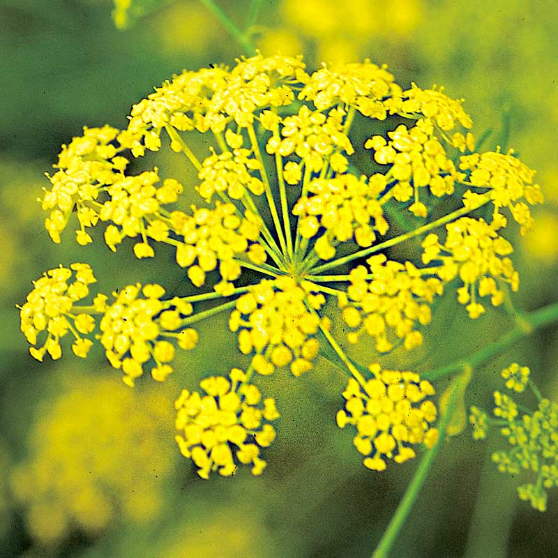 Dill 'Vierling'