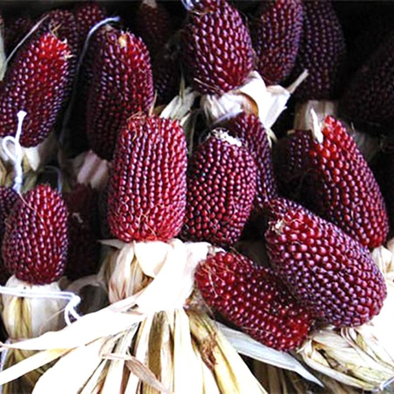 Frö till Prydnadsmajs 'Erdbeermais'