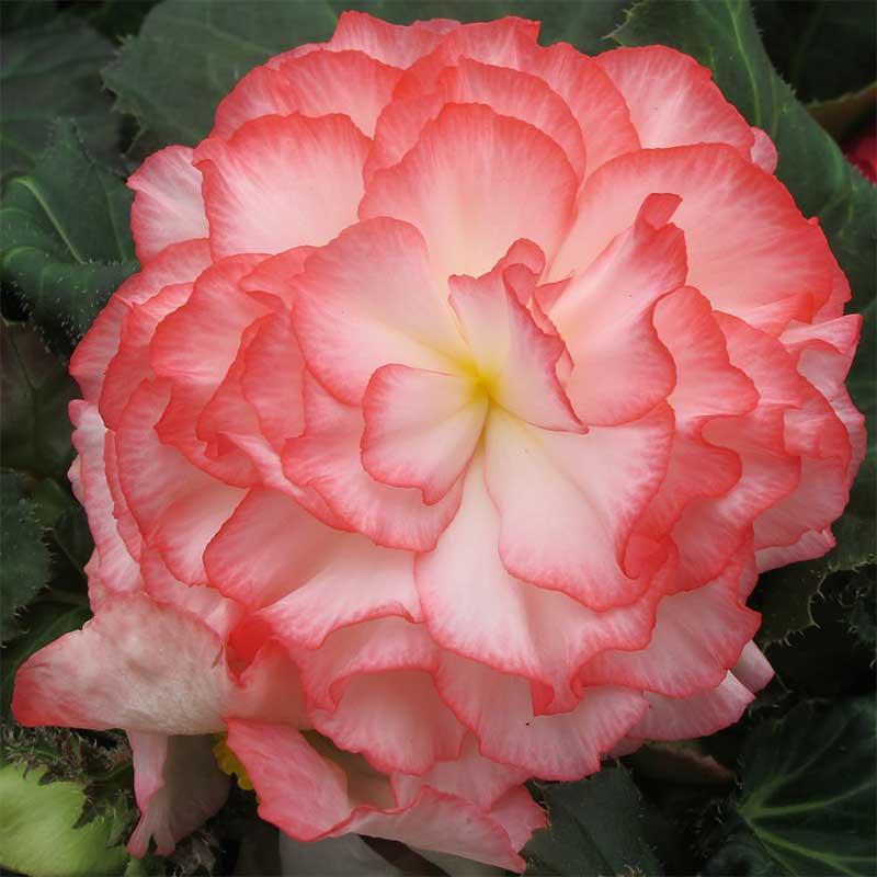 Knölbegonia 'Nonstop Rose Petticote F1'