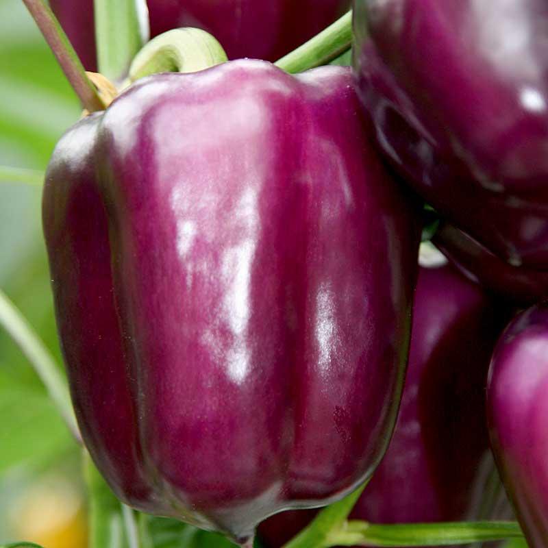 Paprika 'Beluga Lilac'