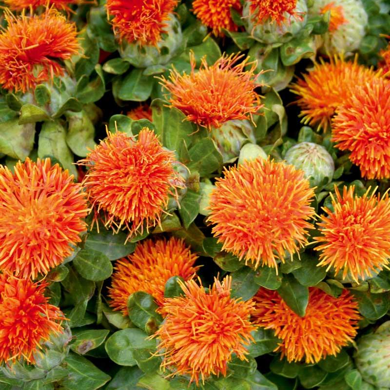 Safflor 'Orange Bali'