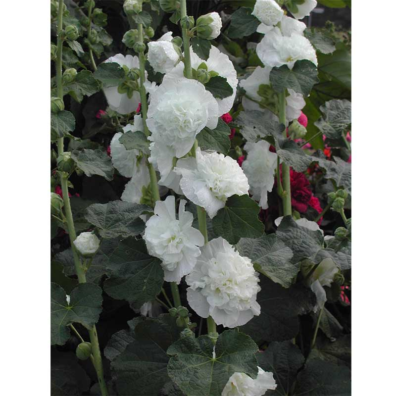 Stockros 'Chaters White'
