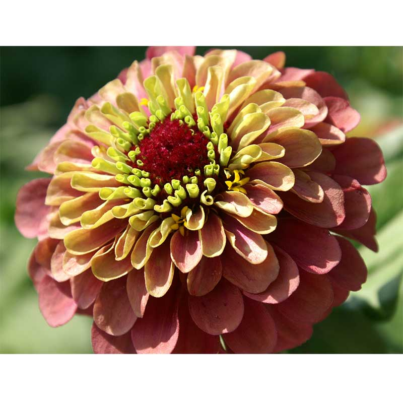 Zinnia 'Queeny Red Lime'
