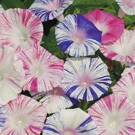 Frö till Purpurvinda Blomman för dagen