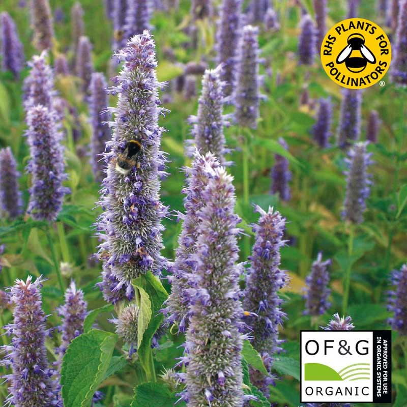 Anisisop, ekologisk pollinerarväxt
