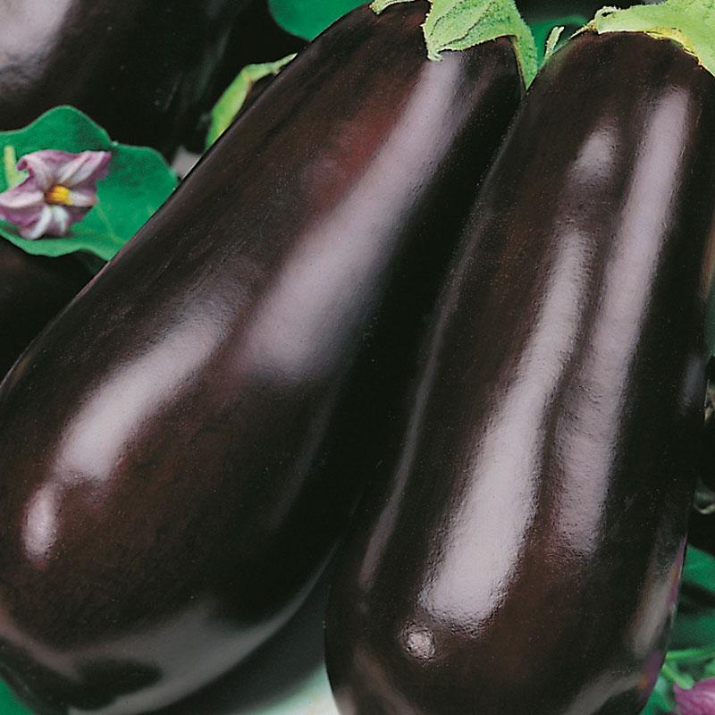 Aubergine 'Early Long Purple 2'