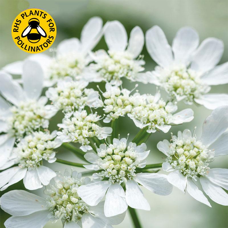 Blomsterkörvel