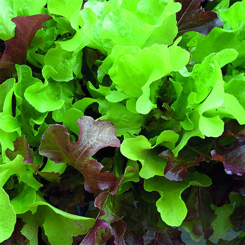 Frö till Sallad ORG LETTUCE Red & Green Salad Bowl Mixed