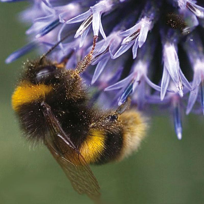 Frö till Sommarblommor mix för pollinerare