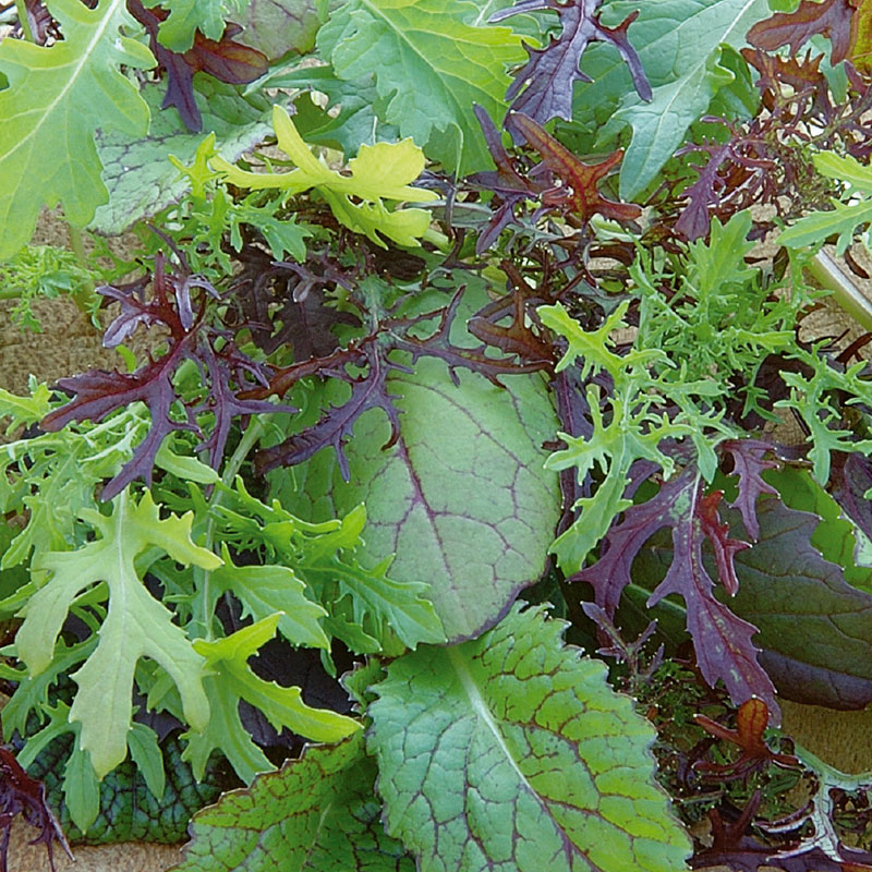 Frö till Bladsarepta 'Colour & Bite', Brassica juncea