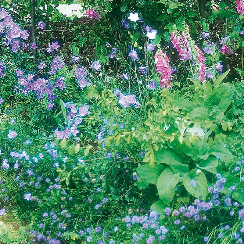 Frö till blomsterängsmix för halvskuggiga lägen