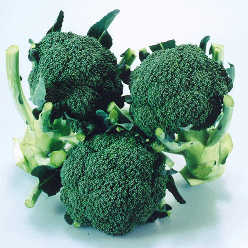Frö till Broccoli 'Matsuri' F1, Brassica oleracea