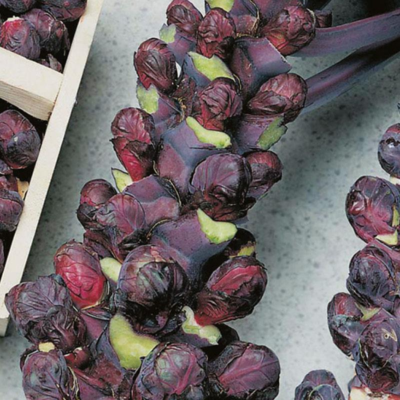 Frö till Brysselkål 'Rubine', Brassica oleracea
