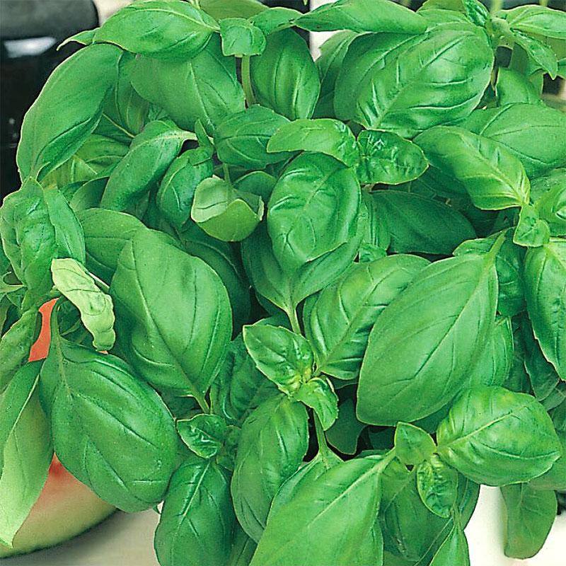 Ekologiskt frö till Basilika Sweet
