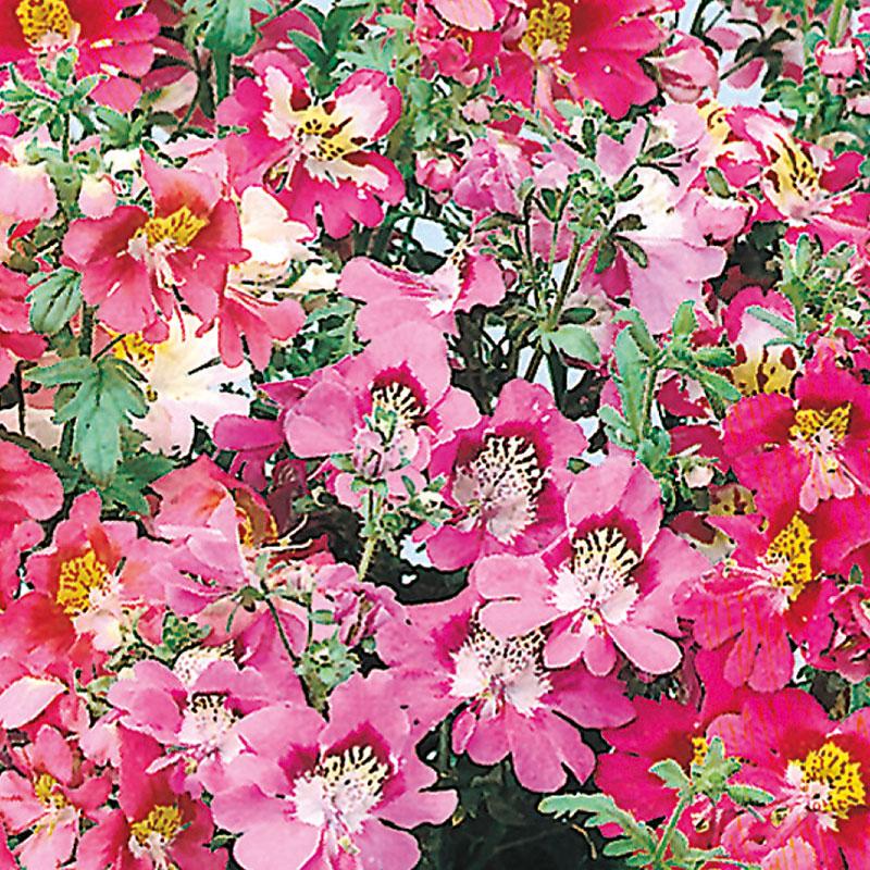 Frö till Fjärilsblomster, storblommig mix, Schizanthus x wisetonensis