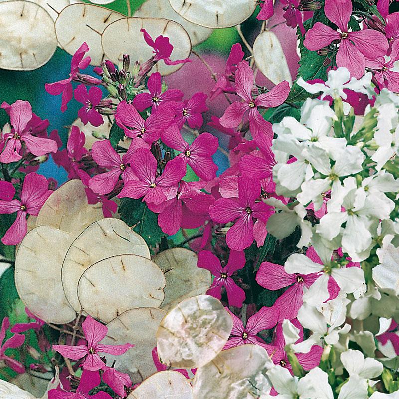 Frö till Judaspenningar 'Purple and White' mix, Lunaria annua