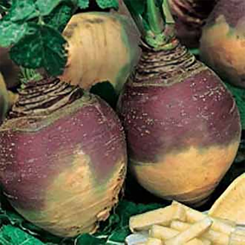 Frö till Kålrot 'Helenor', Brassica napus