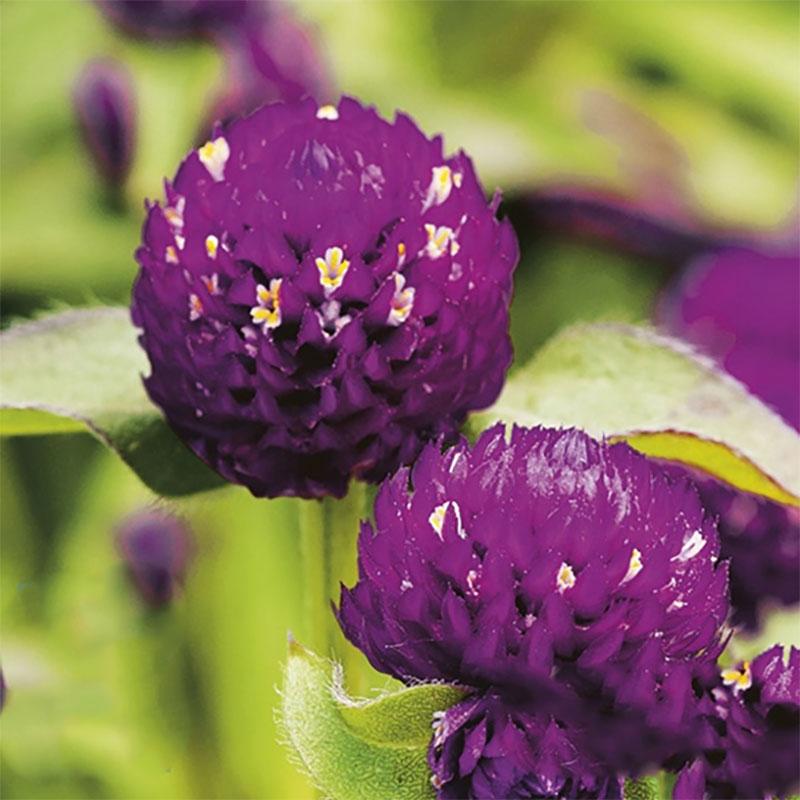 Frö till Klotamarant 'Las Vegas Purple', Gomphrena globosa