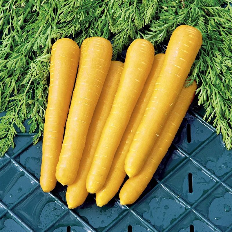 Frö till Morot, Carrot 'Gold Nugget F1'