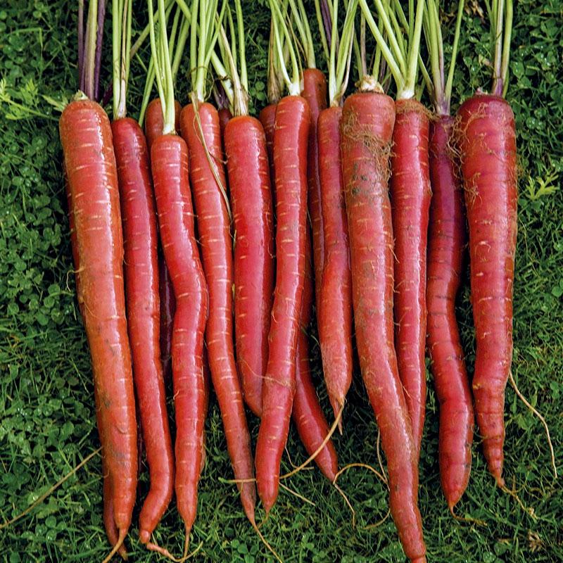 Frö till Morot, Carrot 'Malbec F1'