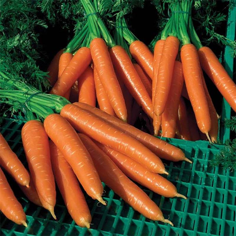 Frö till Morot 'Silvano'  F1, Daucus carota ssp sativus